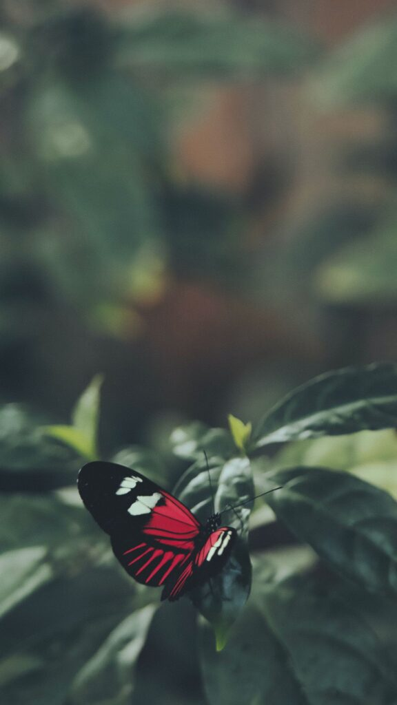 Butterfly Android Wallpaper 1