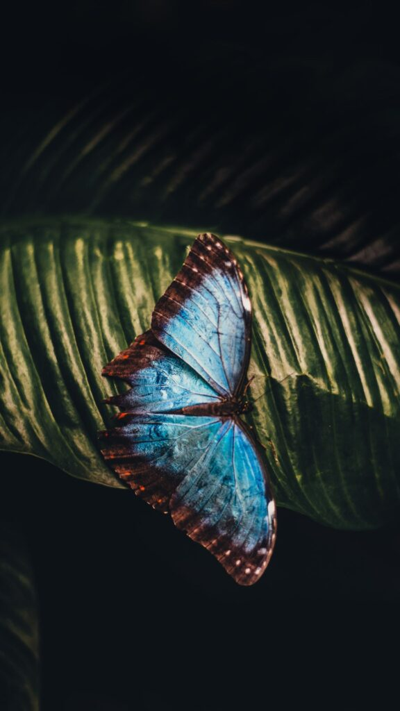 Butterfly Android Wallpaper 5