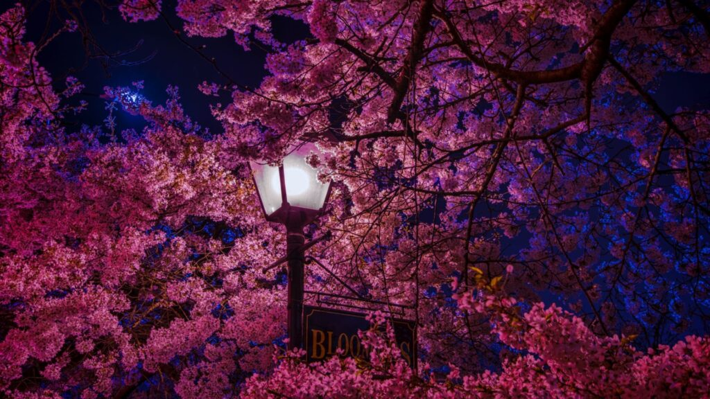 Cherry Blossom Backgrounds