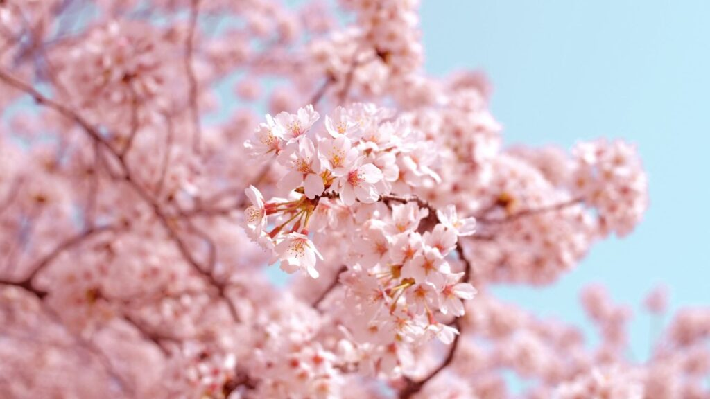 Cherry Blossom Backgrounds Images