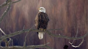 Eagle Background Pictures